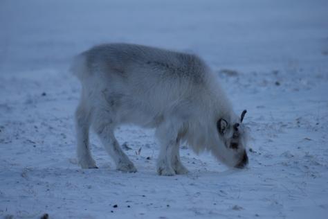 Svalbard_reindeer_calf_brighter