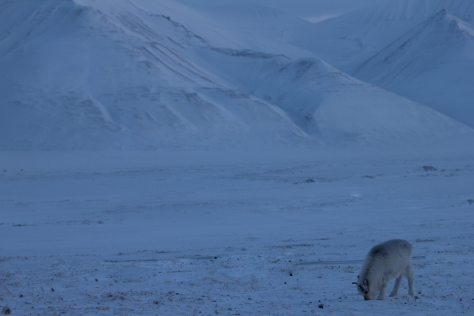 Svalbard_reindeer_calf_mountains_brighter