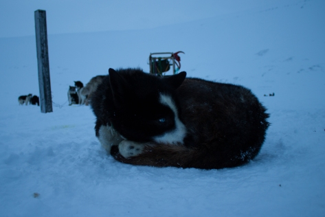 Svalbard_scott_turnerbreen_sled_dog3