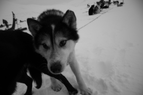 Svalbard_scott_turnerbreen_sled_dog_2